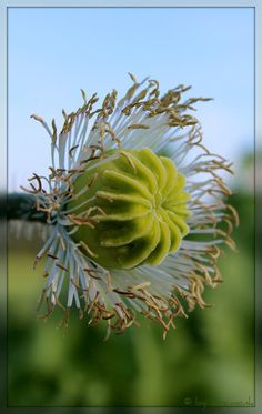 waldviertler graumohn Plants, Bud, Eyes, Hang In There, Nice Asses, Plant, Planting, Planets