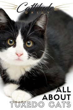 These black and white cats who look as if they're in suits are a favorite for many cat lovers worldwide. Learn all about them here on Cattitude Daily! #cattitudedaily #tuxedocats #tuxedocat Cat Behavior Problems, First Time Cat Owner, Domestic Cat Breeds, Sylvester The Cat, Cat Info, Cat Whisperer, Kitten Care, Felix The Cats, Cat Facts