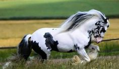 What a pretty Gypsy Vanner in a field! Most Beautiful Horses, All The Pretty Horses, Beautiful Creatures, Animals Beautiful, Cute Animals, Majestic Horse, Majestic Animals, Cute Horses, Horse Love