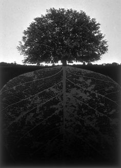 TREE • Jerry Uelsmann, Untitled, '1964 . . .  Beautiful!