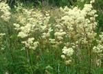 Meadow Sweet a perennial 70 - 120 cm high blooms June - September likes wet places, marshes, bogs