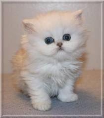 persian kitten! so cute