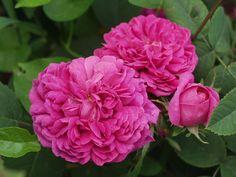 Rose de Rescht (intorno al 1840) Portland | Ippocastano