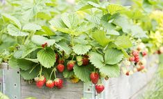Strawberries growing in a raised garden bed Fruit Trees, Trees To Plant, Strawberry Pots, Cedar Garden, Root System, Natural Sugar, Container Plants, Raised Garden Beds, Hanging Baskets