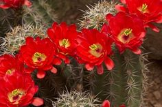 cactus flower garden plant pictures - Beautiful black and white flowers Pictures red & yellow roses wallpaper hd free