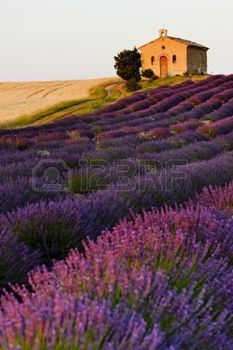france flower: cappella con campi di lavanda e grano, Plateau de Valensole, Provence, Francia