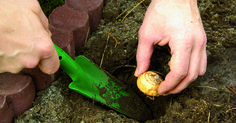 Conserva y vuelve a plantar tus plantas bulbosas