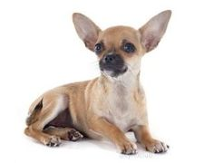 New life for cute little Chihuahua? - dogisto.com