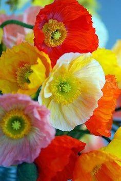 Poppy red, pink, yellow, orange