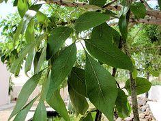 Shamel Ash, Fraxinus uhdei. Also called: Evergreen Ash, Mexican Ash. Non - Xeriscape. Common Landscape Plants. Shrubs, Flowers, & Trees. For The Arizona Desert Environment. Pictures, Photos, Images, Descriptions, & Reviews.
