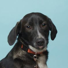 Petango.com – Meet Taya, a 11 months 28 days Retriever, Labrador / Border Collie available for adoption in PERRY, NY