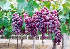 Como Plantar Uva em Casa