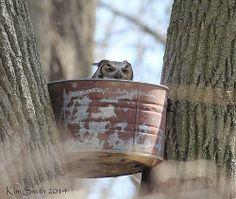 Great Horned Owl on nest v2