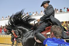 During Minorca's San Juan festival, held each year on June 23 and 24, Minorcan horses prance on their hind legs through the streets of Ciutadella in honor of the city's patron saint. In a ritual that started in the 14th century, elected caixers (horse riders) represent different sections of Minorcan society: clergymen, nobility, artisans, and farmers. As the caixers ride together in a parade, spectators attempt to pat the horses' chests, an act that is said to bring good luck