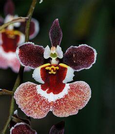 """""""Orchid"""" by DansPhotoArt on flickr"""