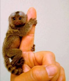 So Little, So Cute, Pygmy Marmoset! Also Known As Finger Monkey. Baby Animals, Funny Animals, Cute Animals, Primates, Mammals, Animals Beautiful, Beautiful Creatures, Beautiful Birds, Animal Pictures