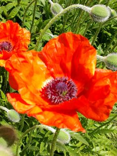 A perennial poppy which I have had from my grandmother's garden