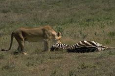 The above image is an example of prey - predator relationship. The female lion (predator) is attacking and feeding on the (prey) zebra.