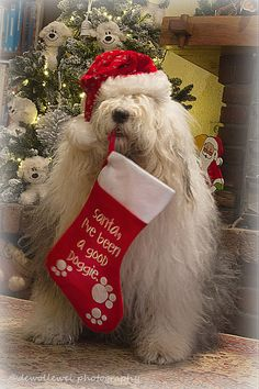 I have been a good doggie! Christmas Animals, Christmas Cats, Country Christmas, Christmas Stocking, Cute Puppies, Cute Dogs, Old English Sheepdog Puppy, Gato Animal, Santa's Little Helper
