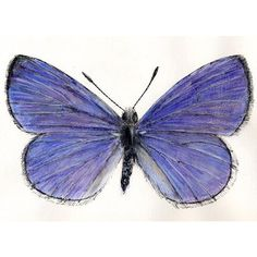 Joe MacGown's Insect Drawings and Paintings Gallery 2 Blue Poppy, Broken Wings, Blue Palette, Insect Art, Painting Gallery, Nature Journal, Natural Forms, Blue Butterfly, Beautiful Butterflies