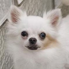 Bug is an adoptable Chihuahua Dog in Washington, DC. ...