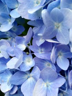 Blue! Hydrangya at Stonehouse farm Maine.