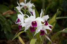 Laelia (or Cattleya) purpurata Flowers Nature, Beautiful Flowers, Garden Projects, Orchids, Origami, Diy And Crafts, Plants, Gardening, Design