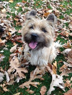 Murphy, my Cairn Terrier, loving the fall weather.