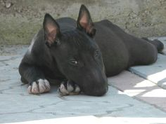 Black beauty- bull terrier