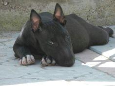 Black beauty- bull terrier