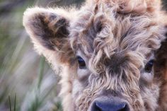 Scottish Highland Cow - Love Highlands's photo - https://www.facebook.com/LoveHighlands/photos/a.1585398935075279.1073741828.1473257706289403/1587057468242759/?type=1&fref=nf