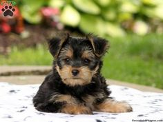 Morkie / Yorktese Puppies For Sale In PA!