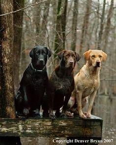 All three colors of labrador retrievers