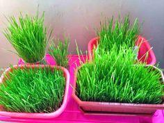RUMPUT GANDUM wheatgrass: Tanaman Rumput Gandum Pelanggan Kami