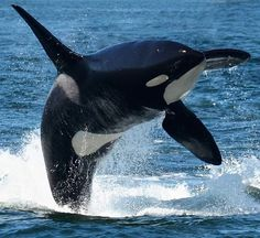Orcas, Whale Pictures, Big Whale, Wale, Deep Sea Fishing, Ocean Creatures, Killer Whales, Sea World, Fauna