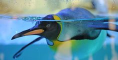 Marc Mueller / EPA  Penguin on the move  A King Penguin swims in the aquarium at the Hellabrunn Zoo in Munich, Germany on April 12.