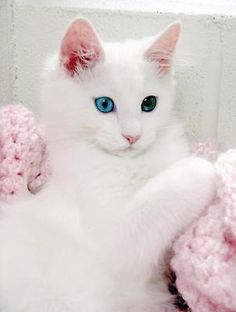 Turkish Angora I thought the eyes were photoshopped, but this is the actual eye colors. For breed conformation the eyes are Large; almond-shaped; slanting slightly upward with open expression. Color any shade of green, gold, green-gold, copper, blue, or odd-eyed; no relationship between eye and coat color.