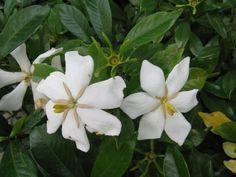 6月3日【クチナシ(梔子・巵子・支子)】学名:Gardenia jasminoides形態:常緑樹 樹高:低木分類:アカネ科花色:開花時は白色。徐々に黄色に変化していく。使われ方:野生では森林の低木として自生しますが、むしろ園芸用として栽培されることが多いようです。果実が漢方薬・山梔子(さんしし)の原料となることをはじめ、様々な利用があります。乾燥させた果実は古くから黄色の着色料として用いられ、サツマイモや栗、和菓子、たくあんなどを黄色に染めるのに用いられます。また、発酵させることによって青色の着色料になり、繊維を染めるのに使います。