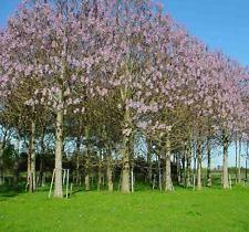 Paulownia Elongata - 250 a 25000 semillas-Árbol Emperatriz-crecimiento rápido!