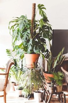 Monstera Deliciosas are popular houseplants thanks to their big, bright green leaves that grow year-round. Here's a helpful guide on how to keep the peace between your Monstera Deliciosa and your cats. Monstera Deliciosa, Cool Plants, Green Plants, Sun Plants, Fake Plants, Gardening For Beginners, Gardening Tips, Organic Gardening, Indoor Gardening