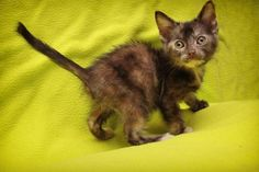 Midge - URGENT - City of Corsicana Animal Shelter, Corsicana, Texas - ADOPT OR FOSTER - 7 WEEK OLD Female Tortie Domestic SH KITTEN