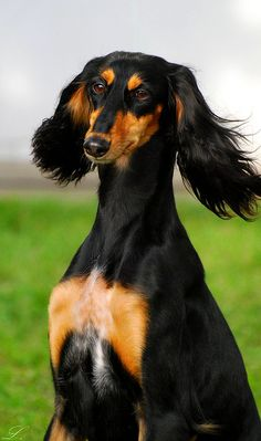 What a beauty saluki.  Aah man, high high high on my list...if I can find one, I will drop everything and get it.