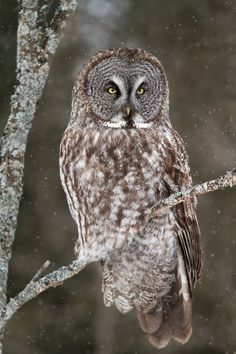 llbwwb:  (via 500px / Surveyor - Great Grey Owl by Jim Cumming)