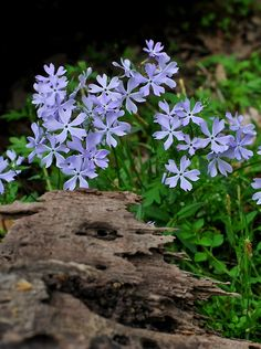 leftinthewoods:  Phlox by the creek