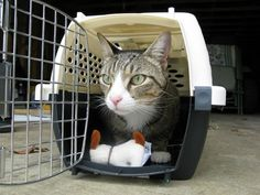 cat-in-carrier_How to get your cat used of the carrier.