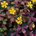 """Botanical Name: Oxalis 'Plum Crazy'  Sun Exposure: Partial Shade/Full Sun  Height/Habit: under 6""""  Spread: 9-12""""  Spacing: 9-12""""  Hardiness Zone: 3-11 (Overwinter frost free in zones 3-7)"""