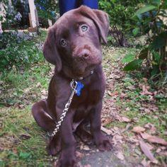 Puppy Chocolate lab puppy Blue eyes Little Cute