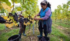HMRC received 65 applications to start a vineyard last year, double the number of two years ago, as British craft beer revolution spreads to wine
