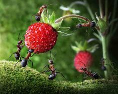 ants strawberry 2160862k Ants life Micro Photography