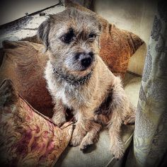 1000 followers! - Thanks #furpals and #furpalfriends 🐾 #alfborder… Best Dog Breeds, Best Dogs, 1000 Followers, Border Terrier, Little Brown, Brown Dog, Little Dogs, Beautiful Dogs, Terriers